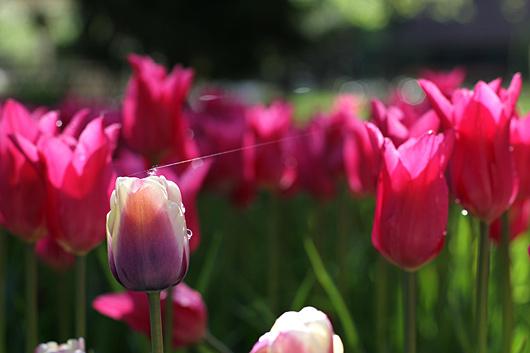 razstava tulipanov v mozirskem gaju 2012